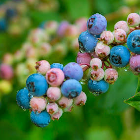 Rain Washed Berries by Tiffany Lett - Nature Up Close Gardens & Produce ( god, washed, pwcvegetablegarden, blueberries, rain )