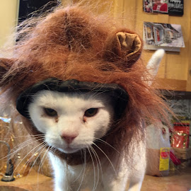 Wookie Cat by Kristine Nicholas - Novices Only Pets ( cat, kitten, white, dress up, hat, halloween, cats, holiday, pet, pets, fur, costume, feline, kitty, white cat,  )
