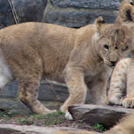 lion cubs by Andy Antipin - Animals Lions, Tigers & Big Cats ( cats, animals, zoo, lion cubs )