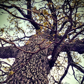 Giant by Bill Kratz - Instagram & Mobile Android ( sky, tree, blooms, springtime, tall )