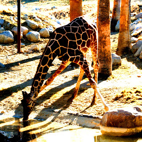Giraffe Drinking by Jacob Woolwine - Animals Other Mammals ( water, spots, giraffe, toungue, legs )