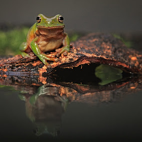 Prince Frog by Steven Silman - Animals Amphibians