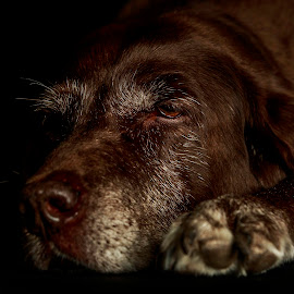 Old Chocolate 2 by Troy Wheatley - Animals - Dogs Portraits ( white hair, chocolate, resting, tired, dog )