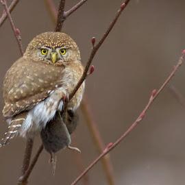 Got m'lunch by Robin Horn - Animals Birds ( northern pygmy-owl (glaucidium gnoma), prey, minimalist, bokeh, perch, birds, closeup )