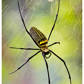 spider by Arun Guna - Animals Other ( nature, spider, web )