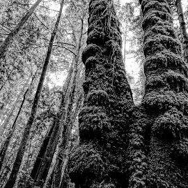 Armstrong Woods #3 by Barbara Brock - Nature Up Close Trees & Bushes ( forest, black and white trees, large trees, redwood forest, woods )