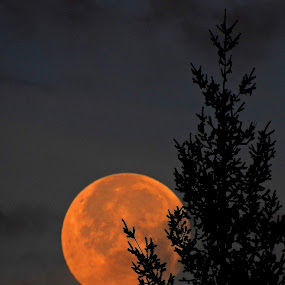 Sunrise, Setting Moon.  by Campbell McCubbin - Landscapes Sunsets & Sunrises ( orange, moon, tree, silhouette, full moon,  )