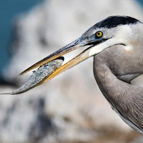 Heron by Bea Welsh - Animals Birds ( bird, neck, fish, beak, fishing, feathers,  )