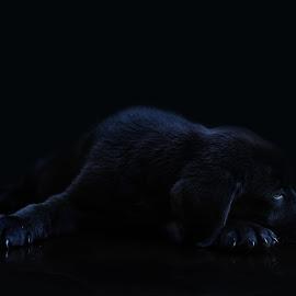 Total eclipse Labrador by Fsm Fashionstudiomanila - Animals - Dogs Portraits ( labrador retriever, black dog, labrador, black )
