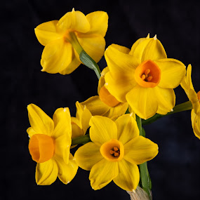 Jonquil 3 by Simon Hall - Flowers Flower Arangements (  )