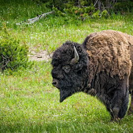 Lone Bison by Scott Wood - Animals Other Mammals ( buffalo, yellowstone, vacation, iconic, grass, bison, summer, horn, travel, animal )