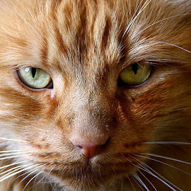 Close to Frank by Chrissie Barrow - Animals - Cats Portraits ( orange, cat, ginger, mouth, pet, male, whiskers, fur, long, nose, closeup, portrait, eyes,  )