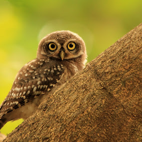 Spotted-Owlet's lovely looks... by BhanuKiran BK - Animals Birds ( look, spotted, sharp, glare, posing, eyes, carnivorus, bird, pose, hunter, looks, owlet, owl, stance, ngc, glaring )