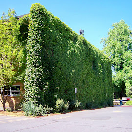 Wall of Ivy by Barb Lewis - Buildings & Architecture Other Exteriors ( plant, college building, exterior, ivy vine, ivy )