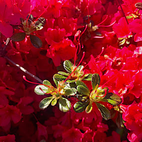 Stewartstonian Azalea by Charline Ratcliff - Flowers Flowers in the Wild ( red, stewartstonian azalea, green leaves, azalea, red flowers, nature up close, flowers,  )