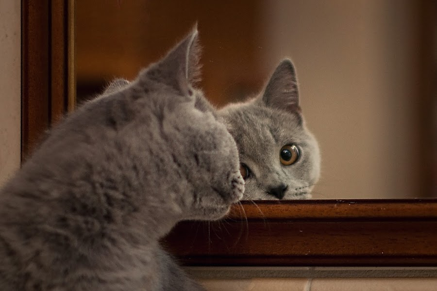 Mirroring by Jiri Cetkovsky - Animals - Cats Kittens ( look, mirror, cat, dron, blue, british, kitty )