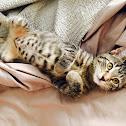 Grey mackerel tabby cat