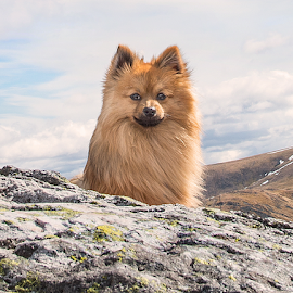 hugo s first munro in scottish highlands  by Michael  M Sweeney - Animals - Dogs Portraits ( scotland, munro, puppy, michael m sweeney, dog, pomeranian, hugo )
