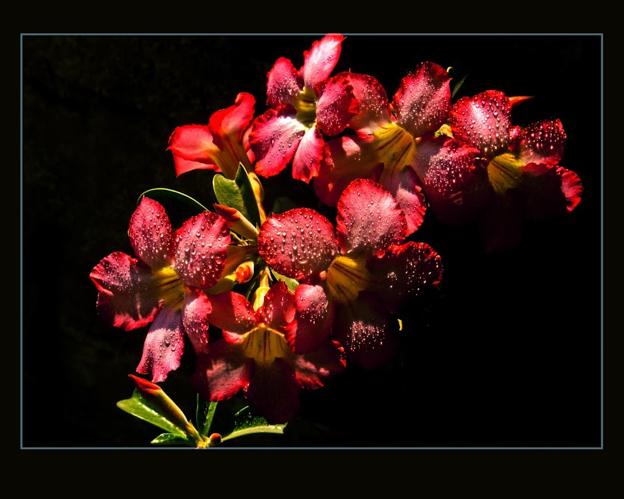 ADENIUM- 4 by Gautam Kr Basu - Nature Up Close Flowers - 2011-2013