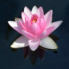 beautiful water lilly in my garden pond by LADOCKi Elvira - Flowers Single Flower ( floral, flowers, water lilly, nature, sunshine, plants, garden, summer )