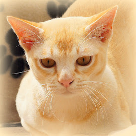 Tom by Caroline Beaumont - Animals - Cats Portraits ( kitten, cat, red, ears, burmese, eyes )