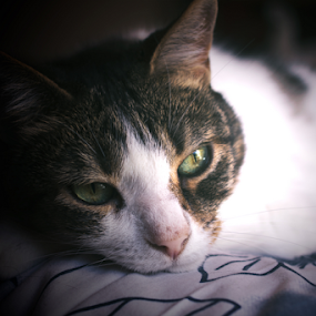 My cat Honorato by Edi Libedinsky - Animals - Cats Portraits ( purr, cat, meow, beautiful, cute, feline, portrait, eyes,  )