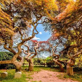 Japanese Threadleaf Maple by David Long - Nature Up Close Trees & Bushes ( threadleaf, japanese, harkness, maple )