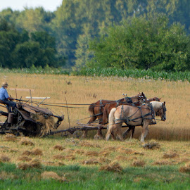 Amish Wheat Harvest by Kurt Bailey - Artistic Objects Industrial Objects
