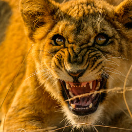 Be careful! by Stanley P. - Animals Lions, Tigers & Big Cats ( animals, lions )