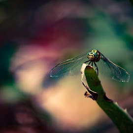 dragonflie by Rajesh Mondal - Nature Up Close Other Natural Objects ( dragonfly, insect,  )