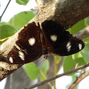 Great Eggfly (male)