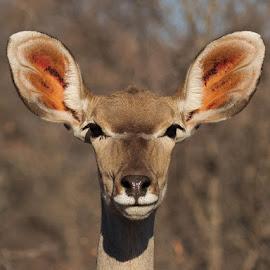 KUDU by Louis Pretorius - Animals Other Mammals