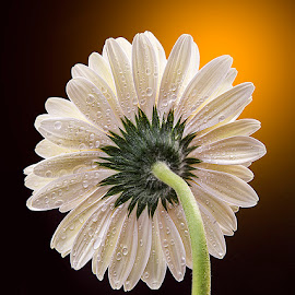 by Rakesh Syal - Flowers Single Flower (  )
