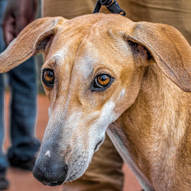 Dog show by Deva Vinoth - Animals - Dogs Portraits