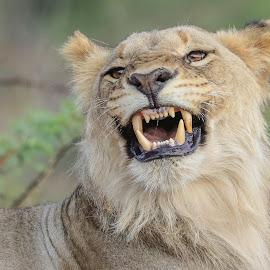 Lion by Dirk Luus - Animals Lions, Tigers & Big Cats ( lion, cat, nature, wildlife, animal )