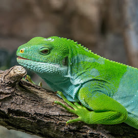 Fiji Banded Iguana - Brachylophus bulabula by Waldemar Dorhoi - Animals Amphibians (  )