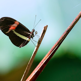 heliconius erato in the garden by Annette Flottwell - Animals Insects & Spiders ( heliconidae, mariposa, buttefly, heliconius erato, nymphalidae, insect )