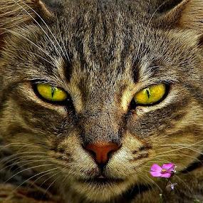 by Ljiljana Cviljak - Animals - Cats Portraits