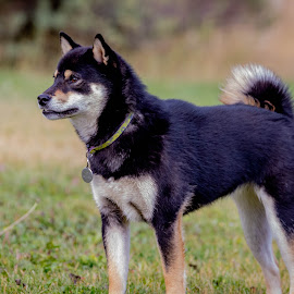 Maple by Chad Roberts - Animals - Dogs Puppies ( puppies, shiba inu, dogs, puppy, dog, black and tan )