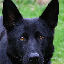 Skye by Chrissie Barrow - Animals - Dogs Portraits ( female, pet, fur, ears, german shepherd, dog, nose, black, portrait, eyes )
