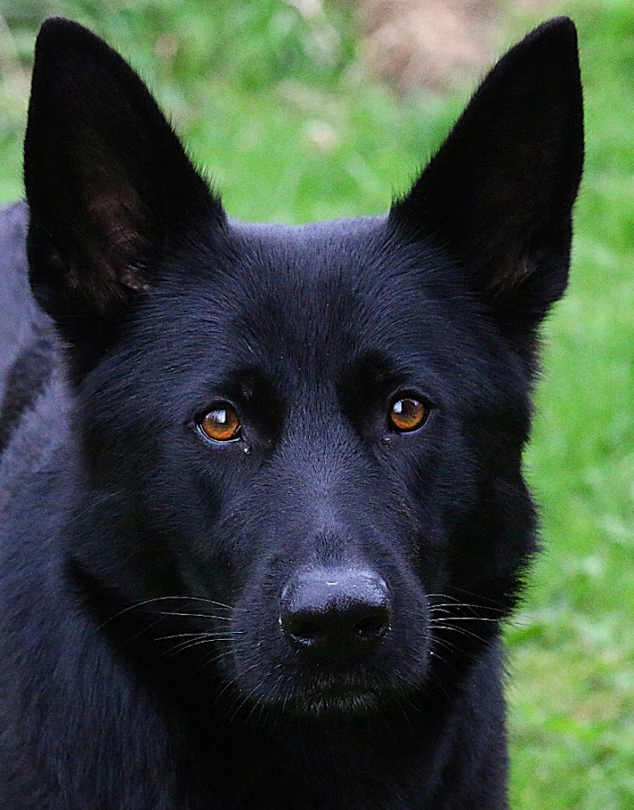 Skye by Chrissie Barrow - Animals - Dogs Portraits ( female, pet, fur, ears, german shepherd, dog, nose, black, portrait, eyes )