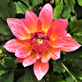 Dwarf Dahlia by Carol Leynard - Flowers Single Flower ( dahlia, plant, planter, dwarf dahlia, pink flower )