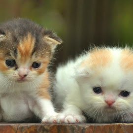 by Cacang Effendi - Animals - Cats Kittens