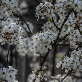 Spring Flowers by Ed Stines - Flowers Tree Blossoms ( white flowers, spring flowers, tree blossoms, tree flowers, flowers, spring blossoms, springtime, spring, blossoms )