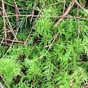 Oregon beaked moss