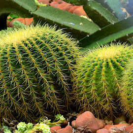 Cacti  by Asif Bora - Nature Up Close Other plants