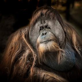 Orangutan by Heather Allen - Animals Other Mammals (  )