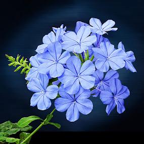 Blue Plumbego by Joseph Vittek - Nature Up Close Gardens & Produce ( plant, blue, green, plumbego, white, cluster, bloom, ocean, blossom, flower, sea shore, salt,  )