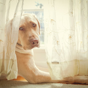 Window Watcher by Lorella Johnson - Animals - Dogs Portraits ( window, watcher, dog )