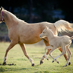 palomino beauty by Glenys Lilley - Animals Horses ( palomino     mare     foal     horse     gallop,  )